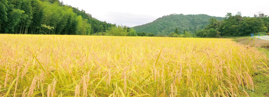 秋の萩市佐々並、稲